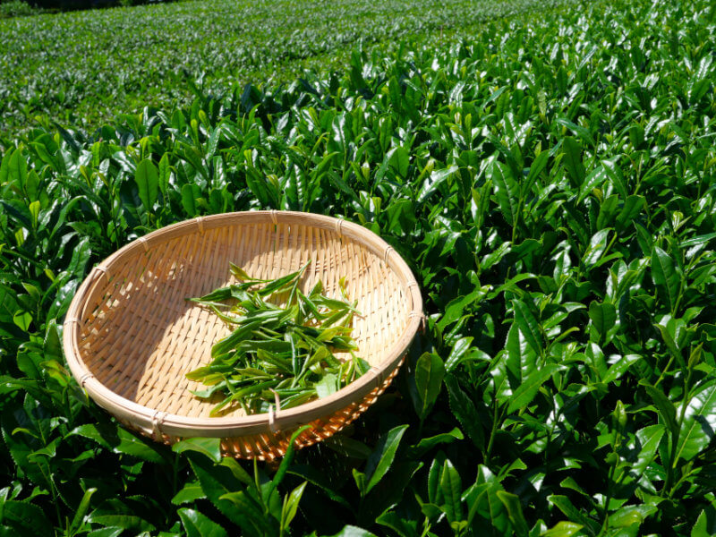 tea-plucking-in-miyanoten-210604